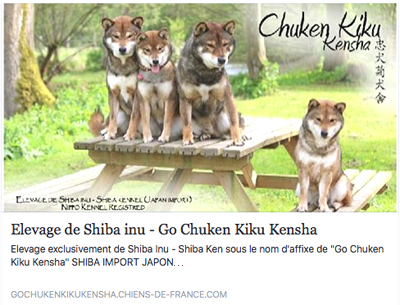 Go-Chuken-Kiku-Kensha-chiens-de-france-elevage-shiba-inu-sesame-goma-japan-import-professionnel-2